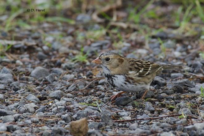 Harriss-Sparrow-2