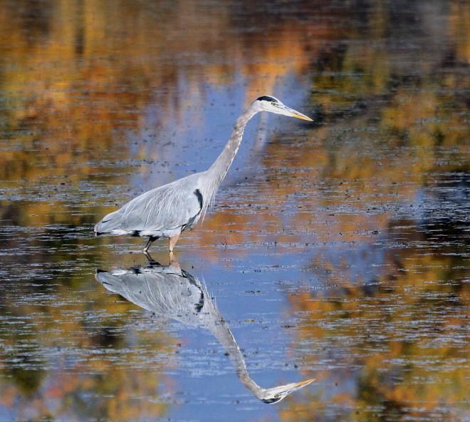 Heron-Great-Blue-2013-11-11-127