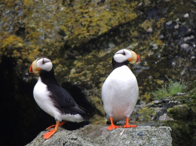 Horned-Puffins-04