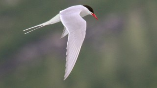 IMG_2264-Artic-Tern-in-flight