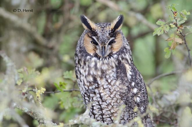 Long-eared-Owl-1