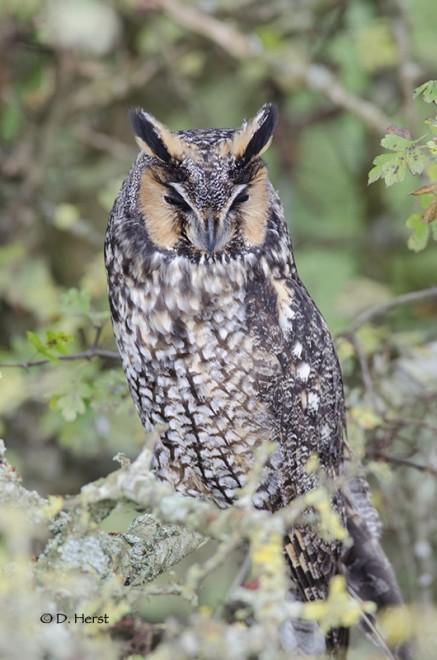 Long-eared-Owl-2