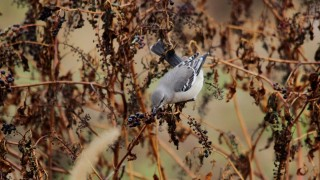 Northern-mockingbird-berry-grab-1440x960