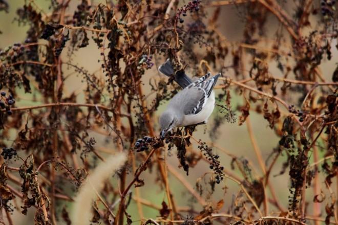 Northern-mockingbird-berry-grab-1440x960