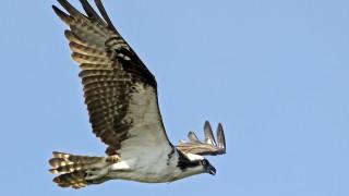 Osprey4