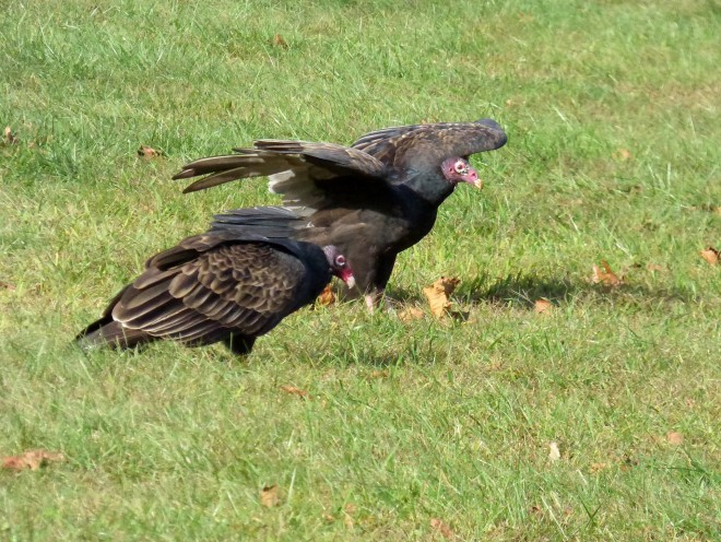 P1040234-VULTURE-PAIR-BWD