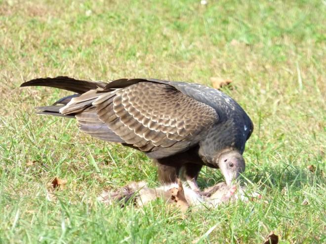P1040259-Vulture-AA-Feeding-BWD
