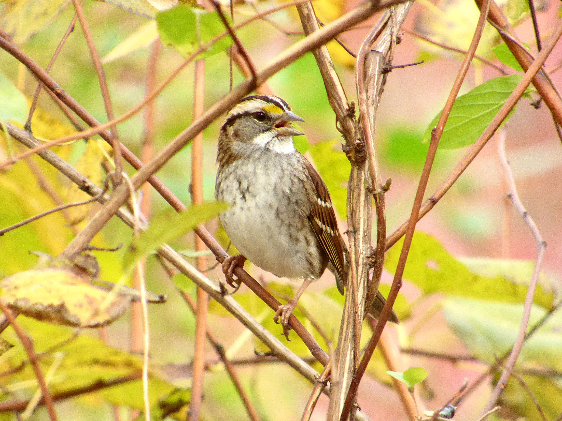 eBird maps show where to find White-throated Sparrow this winter