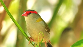 Red-browed-Finch-firetail