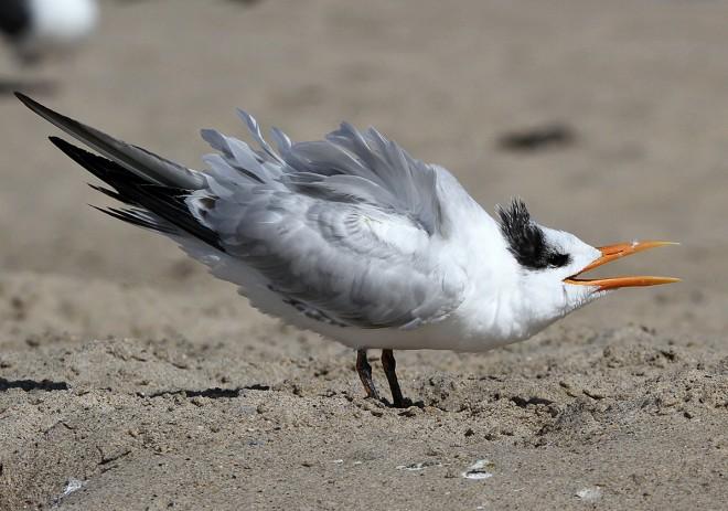Royal-Tern