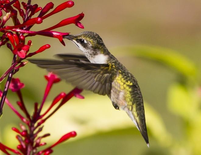 Ruby-throated-Hummingbird-10
