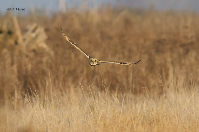 Short-eared-at-sunset