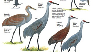 First look: David Sibley describes changes to look for in his revised Guide to Birds