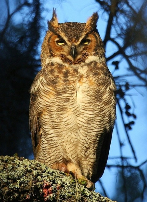 Sunlit-Great-Horned-Owl-Vertical