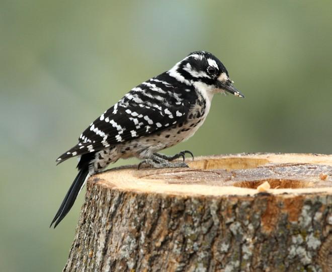 Woodpecker-Nuttalls-2013-11-02-048