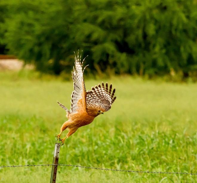 red-shouldered-hawk-sm