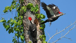 Pileated Woodpeckers (Dryocopus pileatus), Auburn, Alabama, April 26, 2013, 8:29 a.m. by Lew Scharpf