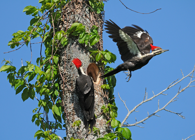 Raised wings and open claws add drama to reader's photo of nesting woodpeckers