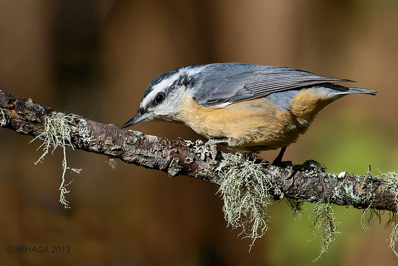 Photo gallery: Five views of North America's four species of nuthatch