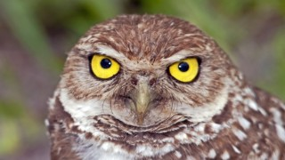 Burrowing Owl in Brian Piccolo Park, Cooper City, Florida, by snooked.