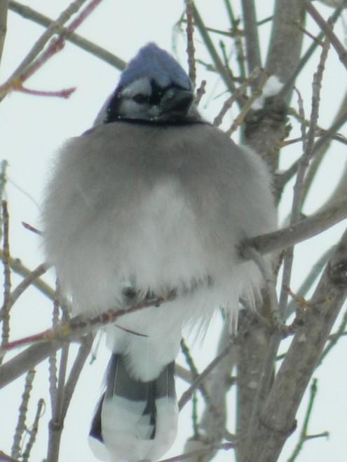 Blue-Jay-Staying-Warm