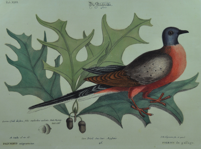 The astounding story of the Passenger Pigeon: in our February issue and coming to your radio