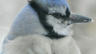 Close-up-of-Blue-Jay
