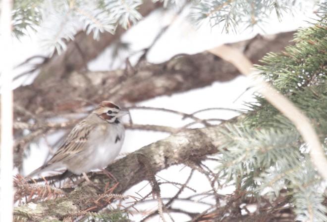 Copy-1-of-Lark-sparrow77
