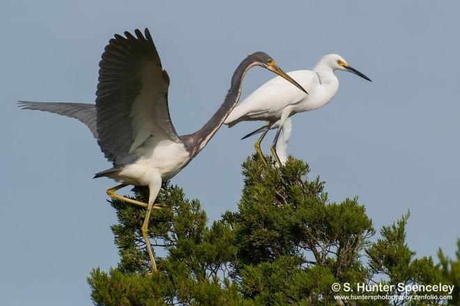 DSC_9043-Tricolored-Heron-Snowy-Egret