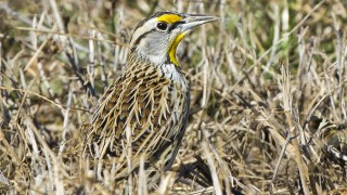 Eastern-Meadowlark-2