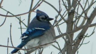 Fluffy-Blue-Jay