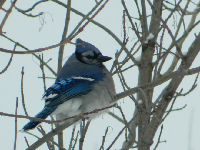 Fluffy-Blue-Jay