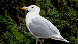 Glaucous-winged-Gull-Oregon-coast