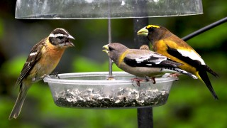 A female Black-headed Grosbeak (left) bickers with a pair of Evening Grosbeaks.