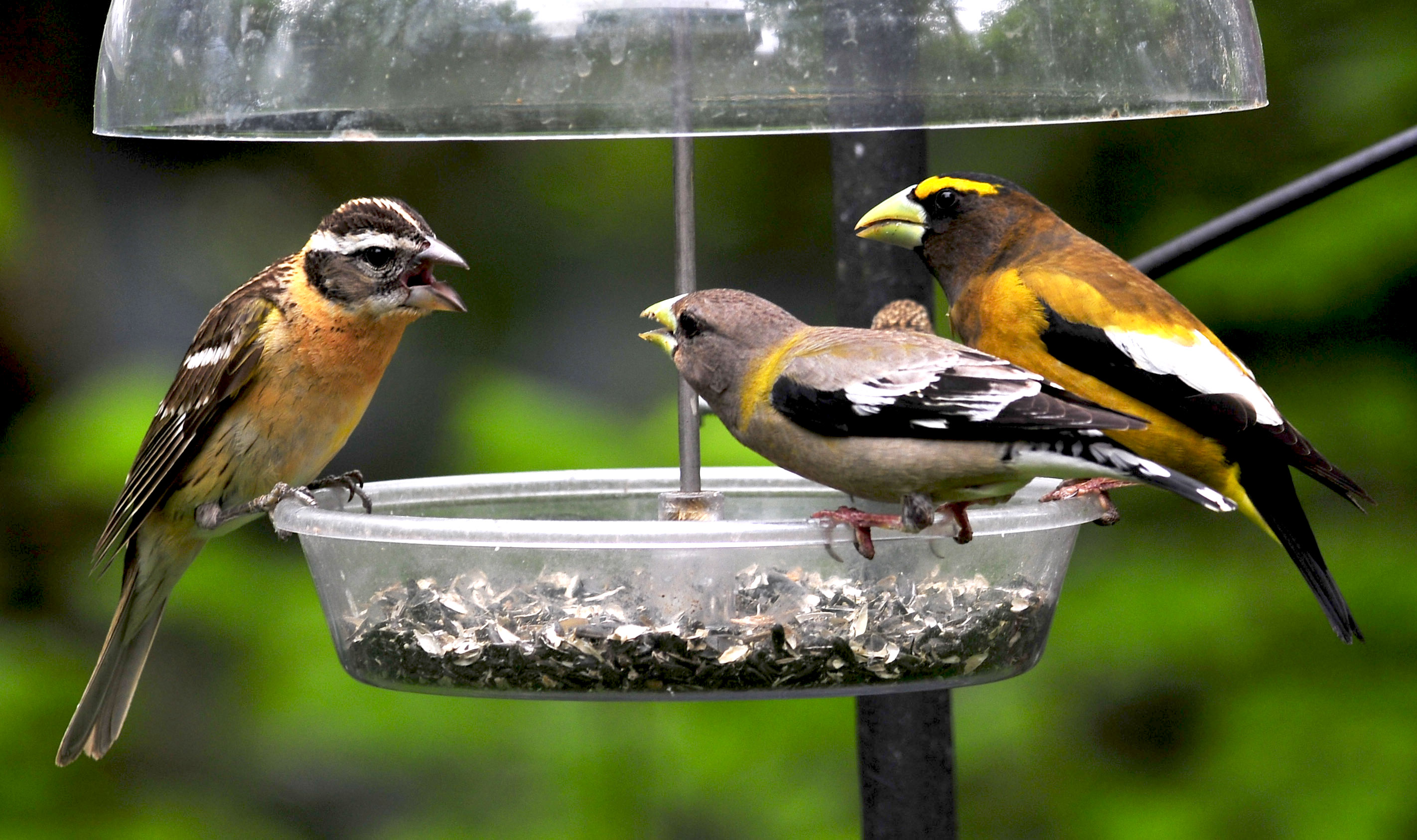 Julie Craves explains why grosbeaks are not listed together in field guides