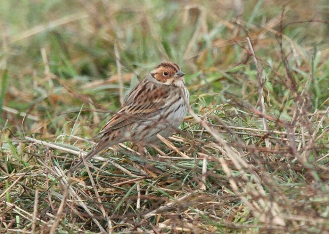Little-Bunting-1