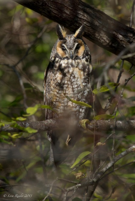 Long-eared-Owl_edited-2