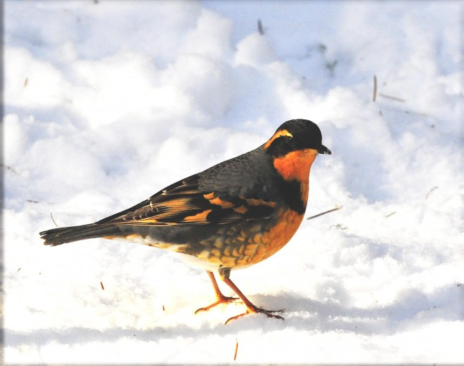Male-varied-thrush-in-snow