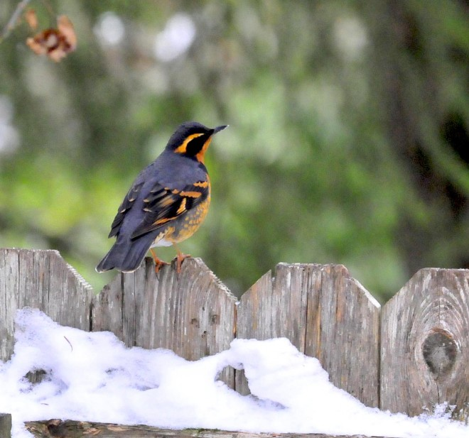 Male-varied-thrush-on-fence-12-9