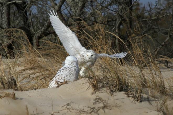 Nancy-Hedgespeth-Snowy-Owls
