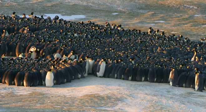 To defeat Antarctic cold, penguins huddle up – and move like cars in a traffic jam
