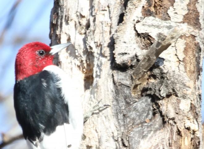 Red-headed-WoodpeckerJI1.7-close-up