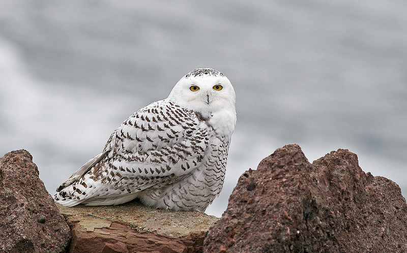 Photo showcase: 11 Snowy Owls that flew south this winter