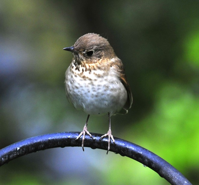 Swainsons-thrush-on-pole-May-2011