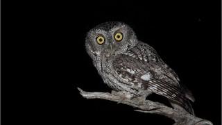 Whiskered-Screech-Owl