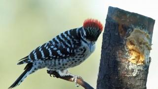 Woodpecker-Nuttalls-2013-12-20-024