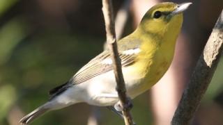 Yellow-throated-VireoBlBeRd1.7
