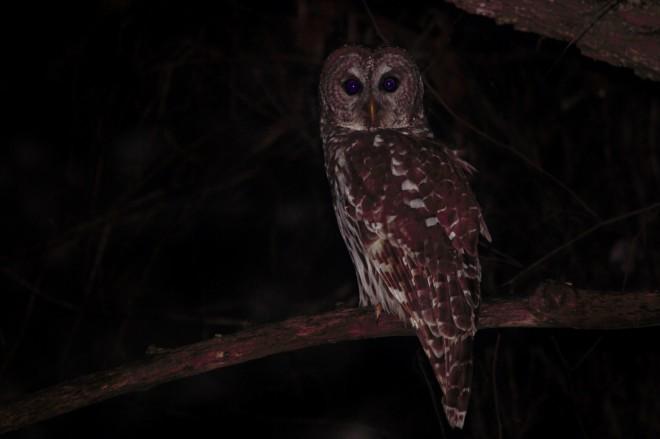 barred-owl-sit-1400x933