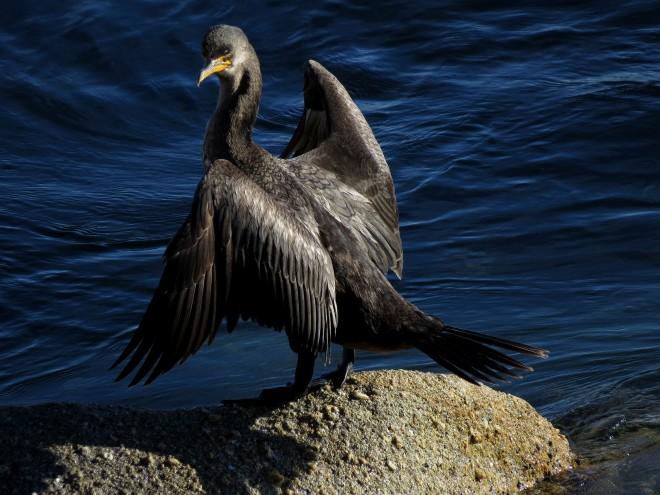 birdwatchingcormorant2013