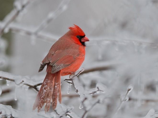 bobvt_20131222_cardinal_4030b
